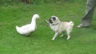 pug and a duck