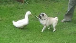getlinkyoutube.com-pug and a duck