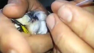 getlinkyoutube.com-التلقيح الاصتناعي للطيور