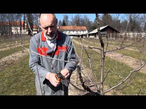 Zimska rez sadnega drevja