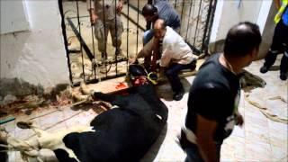 getlinkyoutube.com-منجم السكرى يذبح عجول بمدينة مرسى علم بمناسبة عيد الاضحى 13 10 2013 ، جوزيف أمين