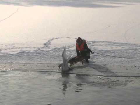 Ratowanie łabędzia na hyclu w Jeleniej Górze