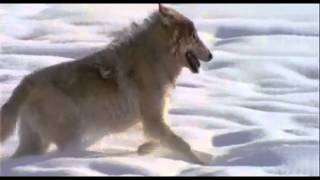 getlinkyoutube.com-The Wolf (Power Animals)