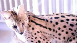 When A Serval is Over Stimulated