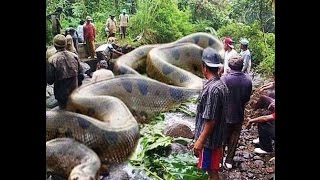 getlinkyoutube.com-WORLD  BIGGEST SNAKE ANACONDA FOUND IN AMERICA'S AMAZON RIVER