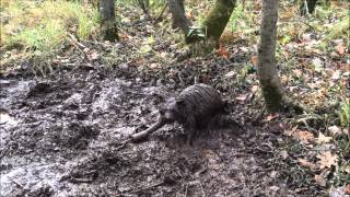 Dry Land Raccoon Trapping #2