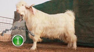 getlinkyoutube.com-الماعز الأبيض - المهرجان الأول بالزلفي (الجزء 1)