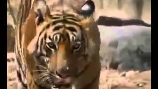 getlinkyoutube.com-Tigre Vs Oso   Tigre Vs Oso