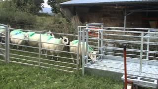 getlinkyoutube.com-Prevent sheep lameness with new design footbath