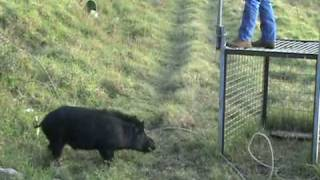 getlinkyoutube.com-Pig Trap in Hawaii Releasing Boar After Castration