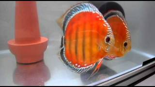 getlinkyoutube.com-Amazones Red Discus