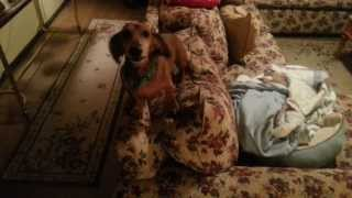 getlinkyoutube.com-Dachshund Loses His Mind When Mom Gets Home from Vacation!!!