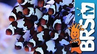 getlinkyoutube.com-Adding 30 Clowns to our Lobby Tank EP 3: Clownfish Harem Tank #clownharemtank