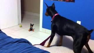 getlinkyoutube.com-Sevimli Doberman'ın Oyuncak Köpek ile İmtihanı.