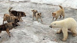 getlinkyoutube.com-Sibirya kurdu KUTUP AYIsına kafa tutacak kadar cesaretli ve güçlü İZLEYIN..