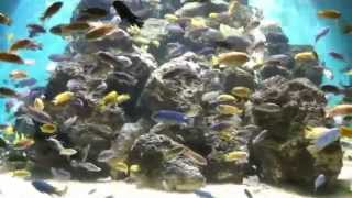 getlinkyoutube.com-HUGE AFRICAN CICHLID TANK!  [HD]