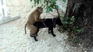 getlinkyoutube.com-Monkey tries to have sex with dog