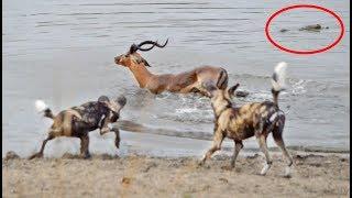 Impala vs Wild Dogs vs Crocodile vs Hippo!