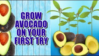 getlinkyoutube.com-HOW TO GROW AVOCADO TREE FROM SEED.