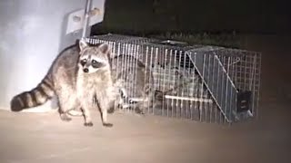 getlinkyoutube.com-How to Catch a Raccoon in a Live Cage Trap