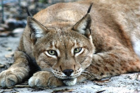 Crazy Cat Sounds! Leopard Lynx Caracal