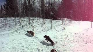 getlinkyoutube.com-Hounds Released on Hot Coyote Track