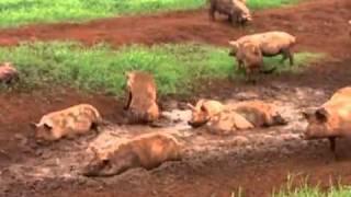 getlinkyoutube.com-Prática de bem-estar animal privilegia sistema diferente de manejo de porcos - Globo Rural