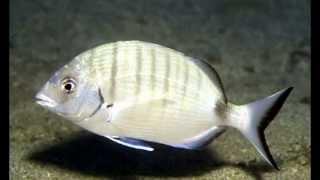 getlinkyoutube.com-سمكة شرغو وطريقة  اصطيادها cherghou