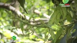 getlinkyoutube.com-เกษตรยุคใหม่ การปลูกมะม่วง