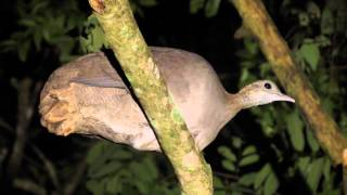 getlinkyoutube.com-Macuco(Tinamus solitarius) - Solitary Tinamou