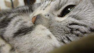 getlinkyoutube.com-しかめっ面で警戒する猫が…ついに心を開いて腰砕け!最後はとろとろのトリコ状態 - Cat gets a warm cushion!