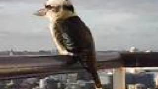 getlinkyoutube.com-Kookaburra having a little laugh