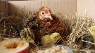 getlinkyoutube.com-Raising quail organically - Hatching. Nos cailles bio, l'éclosion. Codornices orgánicas, eclosión.