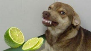 getlinkyoutube.com-Cachorro rindo após cheirar limão