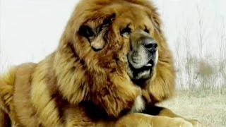 getlinkyoutube.com-Tibetan man and his dog