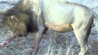 getlinkyoutube.com-Mapogo Lions & Hippo Kill