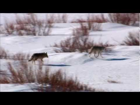 The Canids of Yellowstone Park