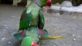 Zoo Bird Having Sex (Entertainment)