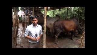 getlinkyoutube.com-Cow Fattening SPL 01 ( গরু মোটাতাজাকরন)