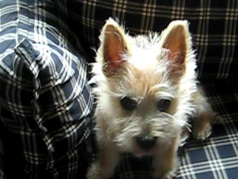 Mischievous Silly Cairn Terrier Puppy. Griggio