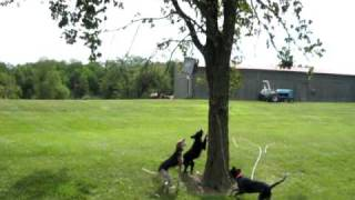 American English coonhound climbing tree