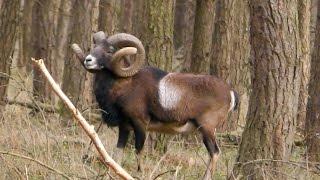 getlinkyoutube.com-Pirsch und Ansitz auf Muffelwidder / Mouflon Hunt in Germany