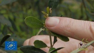 getlinkyoutube.com-Λίπανση ελιάς / Fertilizing olive trees
