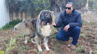 كلاب الراعي القوقازي الاصلي بعمر 14 شهر مع جمال العمواسي