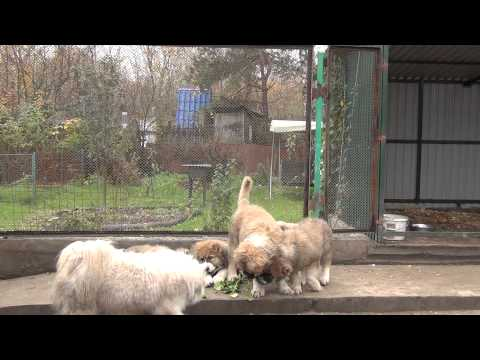 Caucasian Shepherd puppies 3 months. For Sale!