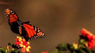 getlinkyoutube.com-Slow motion Butterfly in flight