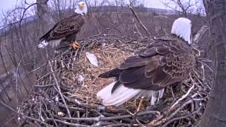 getlinkyoutube.com-Eagle cam: Eagles swap places after egg hatches at Codorus State Park, Hanover, PA