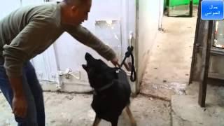 getlinkyoutube.com-كيف تبداء تدريب كلب خام كلب لايفهم بتاتا من مرحله الصفر على الطاعه مع جمال العمواسي