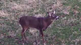 getlinkyoutube.com-Longbow Hunt, Big Iowa Whitetail Deer