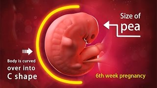 getlinkyoutube.com-6 Weeks Pregnant: A Complete Guide on Fetal Development